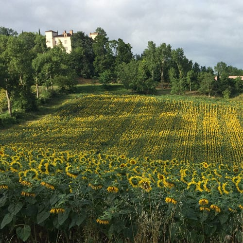 Sunflowers in Southern France